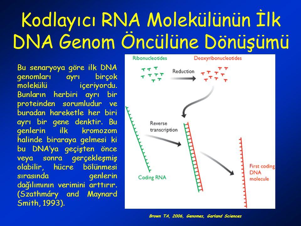 Kodlayıcı RNA Molekülünün İlk DNA Genom Öncülüne Dönüşümü
