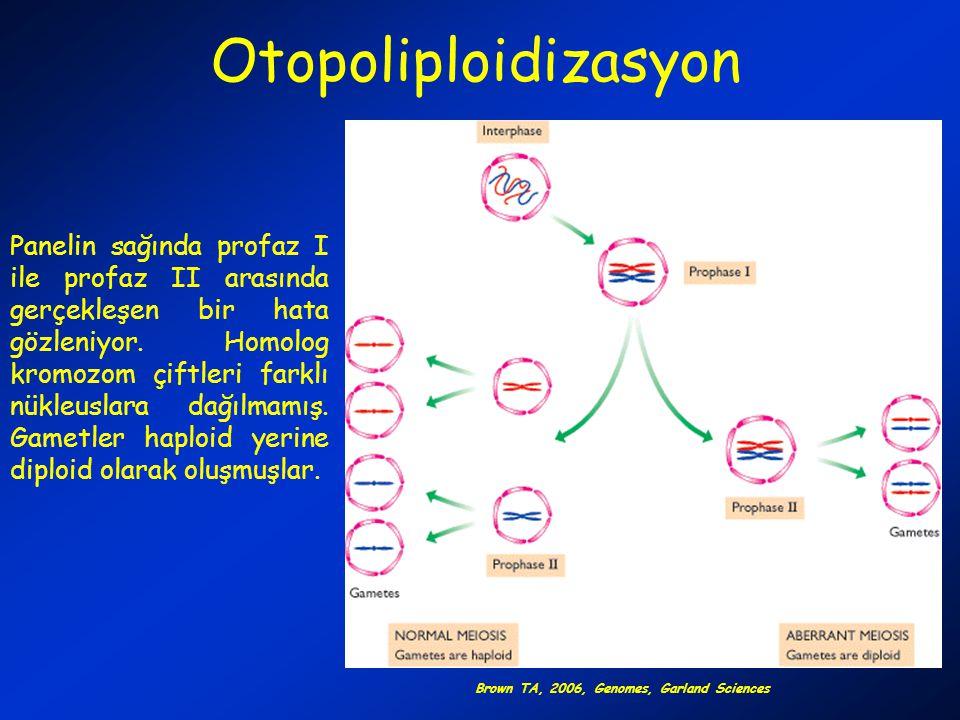 Otopoliploidizasyon