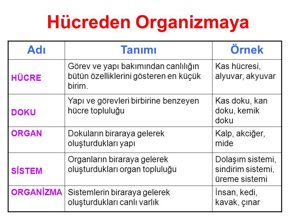 Hücreden Organizmaya Adı Tanımı Örnek HÜCRE