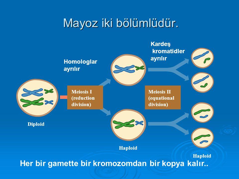 Mayoz iki bölümlüdür. Kardeş. kromatidler. ayrılır. Haploid. Diploid. Meiosis I. (reduction. division)