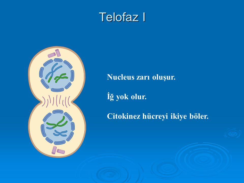 Telofaz I Nucleus zarı oluşur. İğ yok olur.