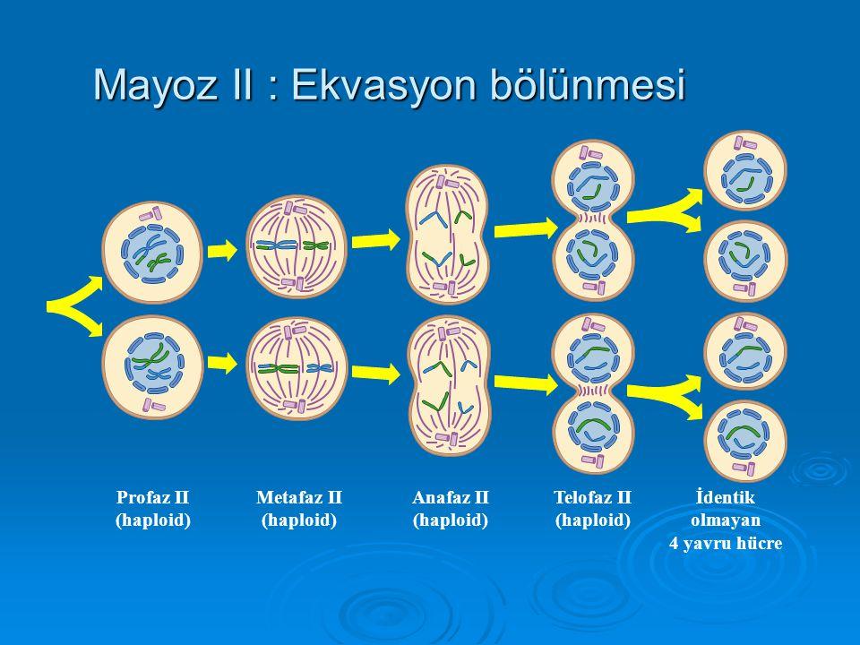 Mayoz II : Ekvasyon bölünmesi