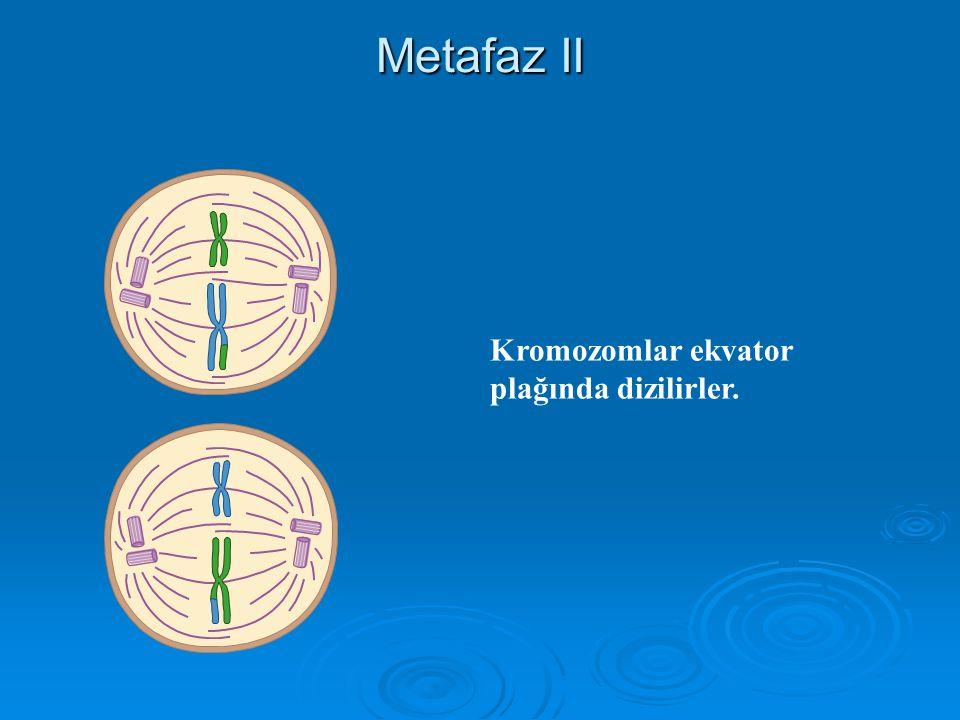 Metafaz II Kromozomlar ekvator plağında dizilirler.