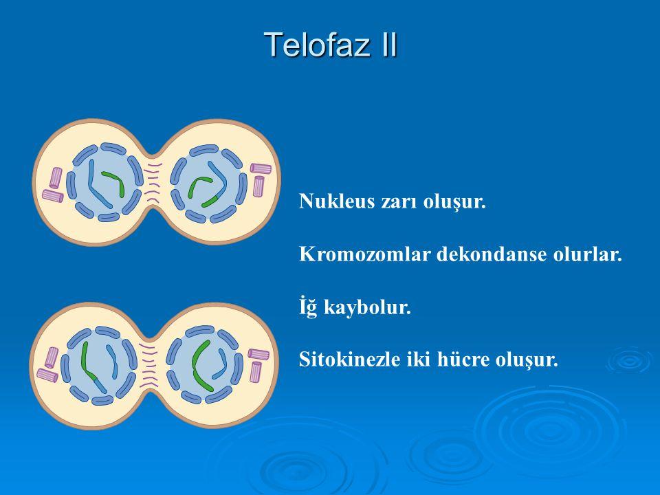 Telofaz II Nukleus zarı oluşur. Kromozomlar dekondanse olurlar.