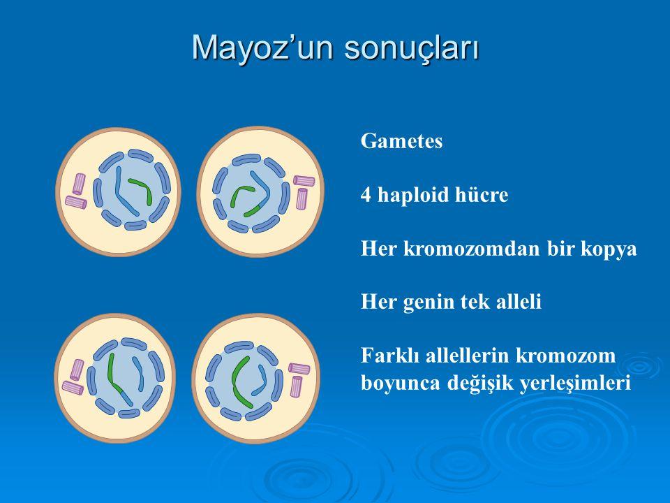 Mayoz'un sonuçları Gametes 4 haploid hücre Her kromozomdan bir kopya