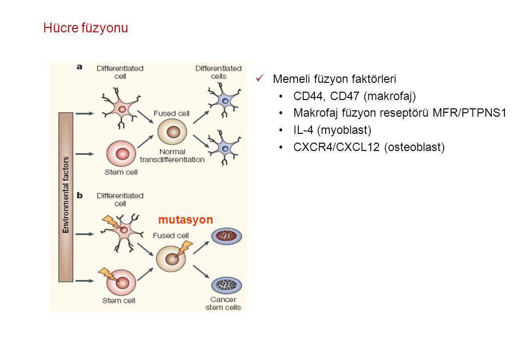 Hücre füzyonu Memeli füzyon faktörleri CD44, CD47 (makrofaj)