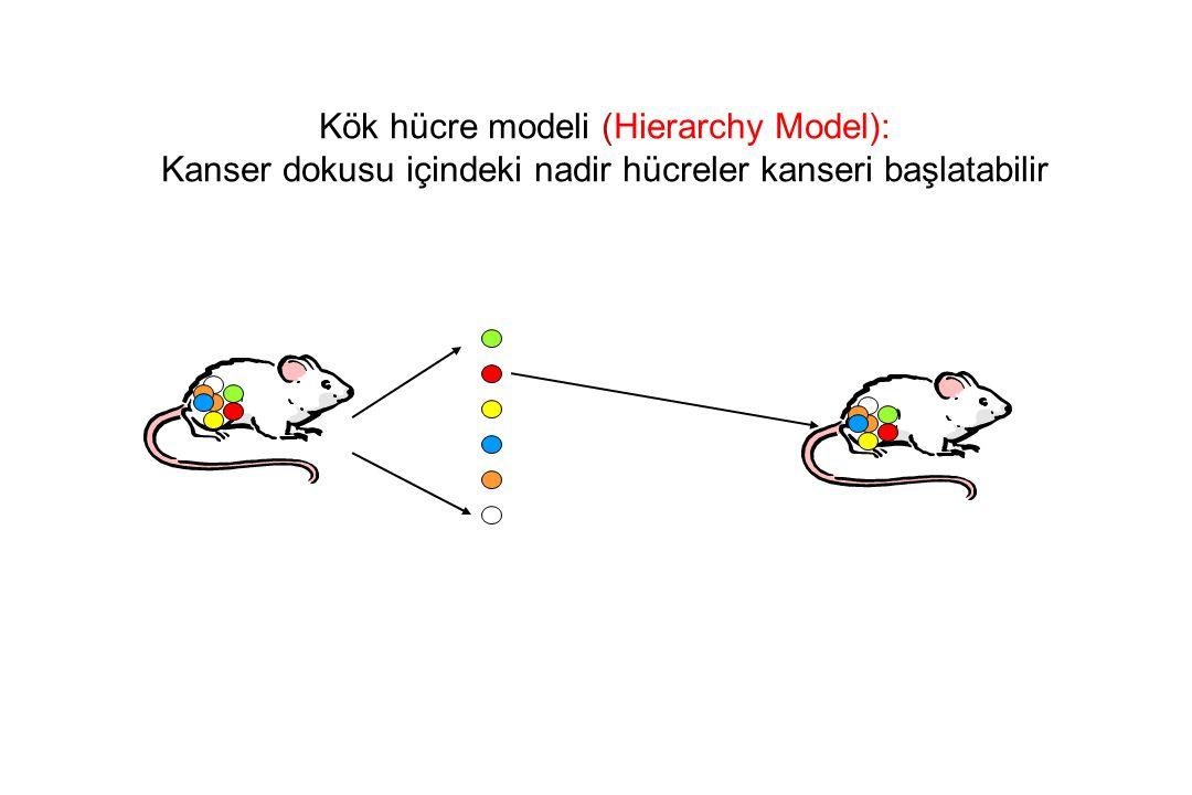 Kök hücre modeli (Hierarchy Model):