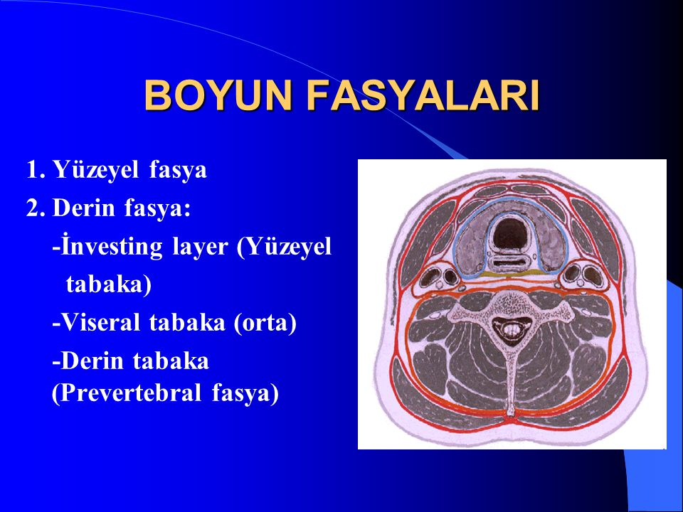 BOYUN FASYALARI 1. Yüzeyel fasya 2. Derin fasya: