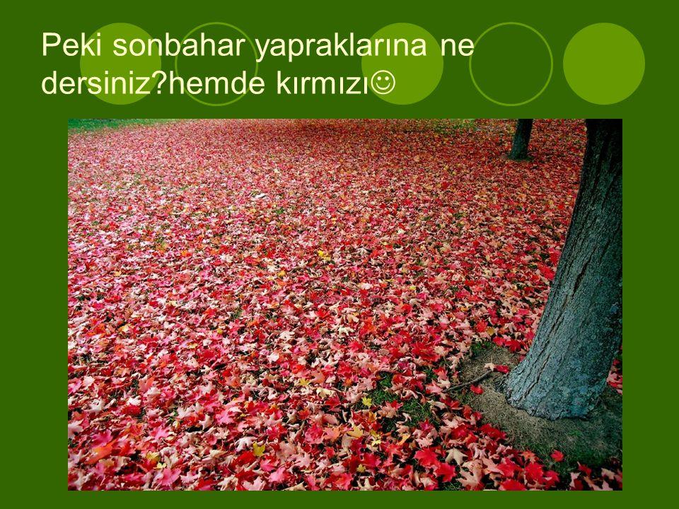 Peki sonbahar yapraklarına ne dersiniz hemde kırmızı