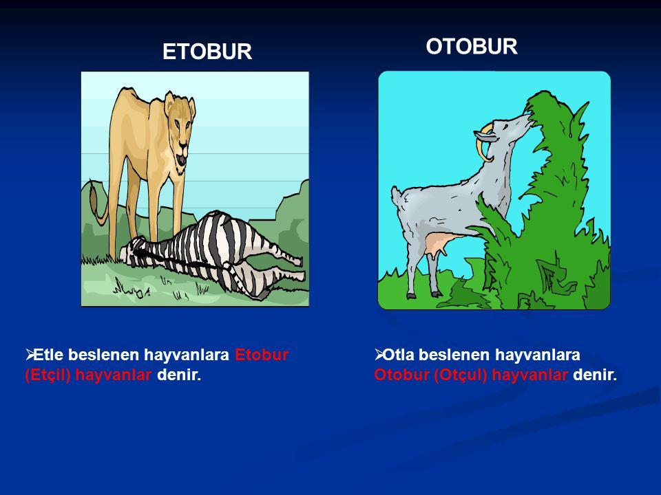 OTOBUR ETOBUR Etle beslenen hayvanlara Etobur (Etçil) hayvanlar denir.