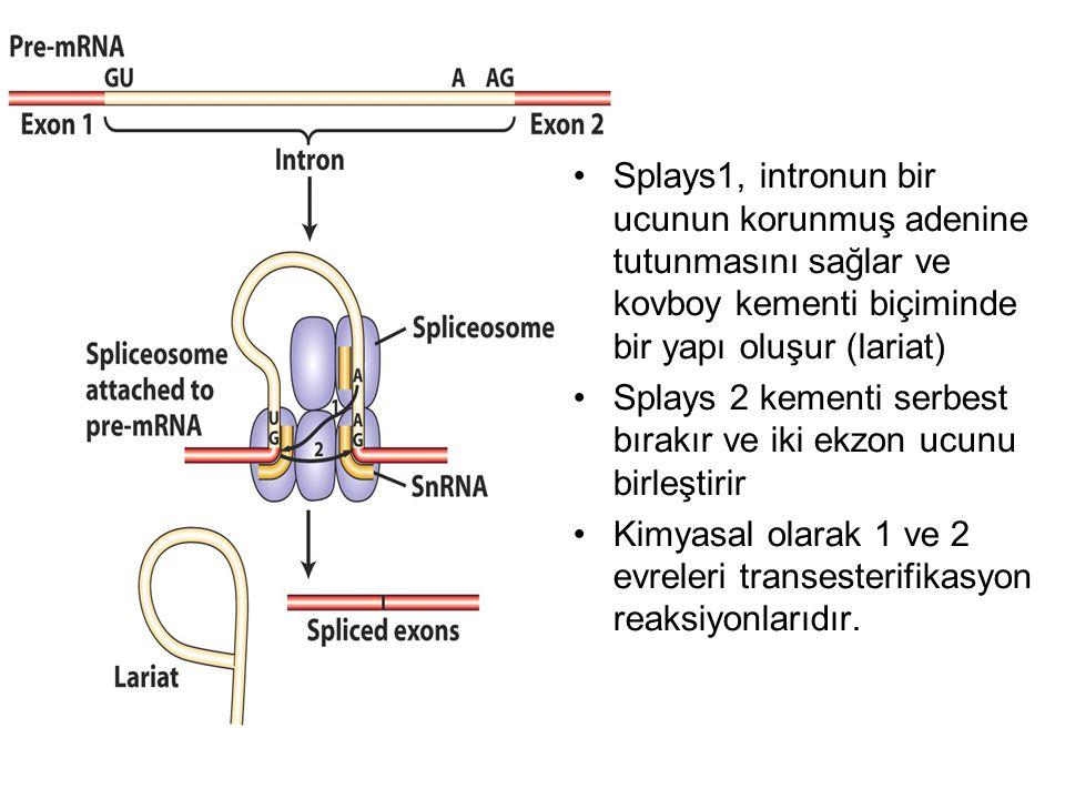 Splays1, intronun bir ucunun korunmuş adenine tutunmasını sağlar ve kovboy kementi biçiminde bir yapı oluşur (lariat)
