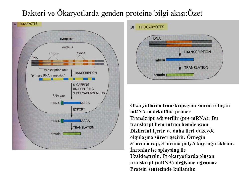 Bakteri ve Ökaryotlarda genden proteine bilgi akışı:Özet