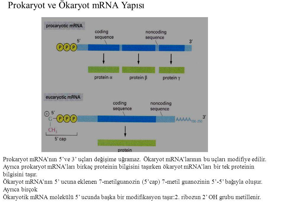 Prokaryot ve Ökaryot mRNA Yapısı