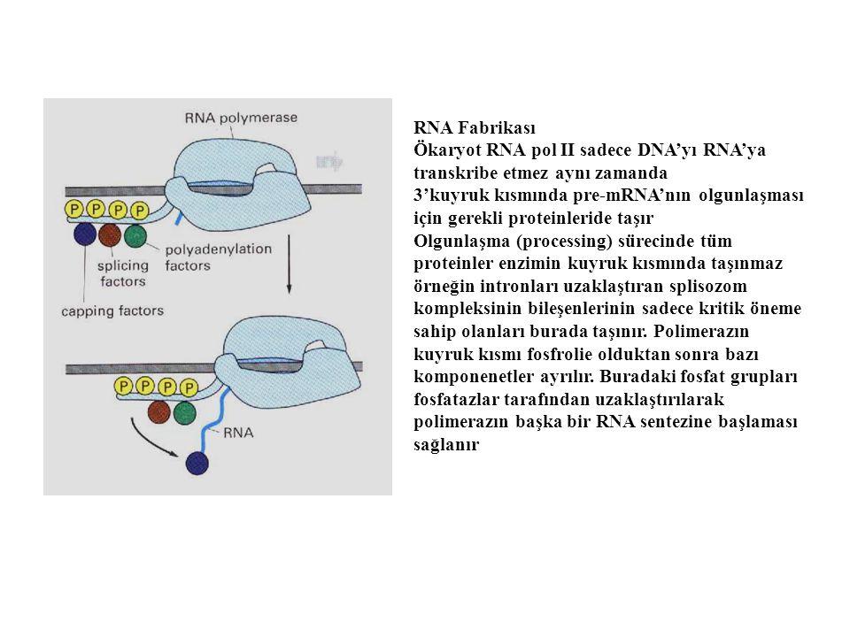 RNA Fabrikası Ökaryot RNA pol II sadece DNA'yı RNA'ya transkribe etmez aynı zamanda.