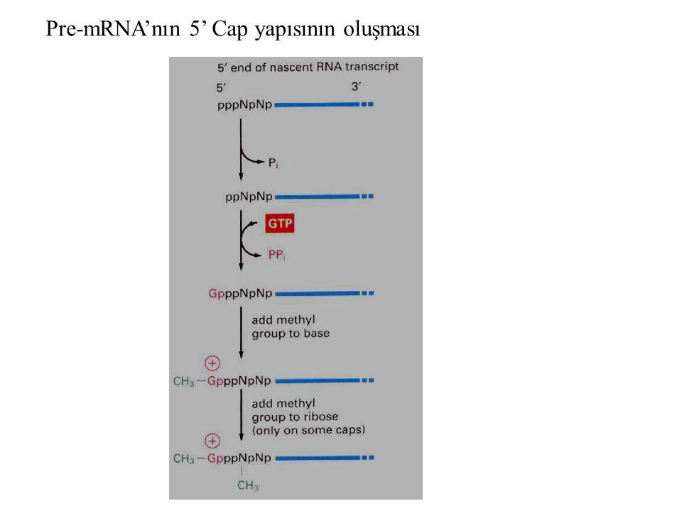 Pre-mRNA'nın 5' Cap yapısının oluşması