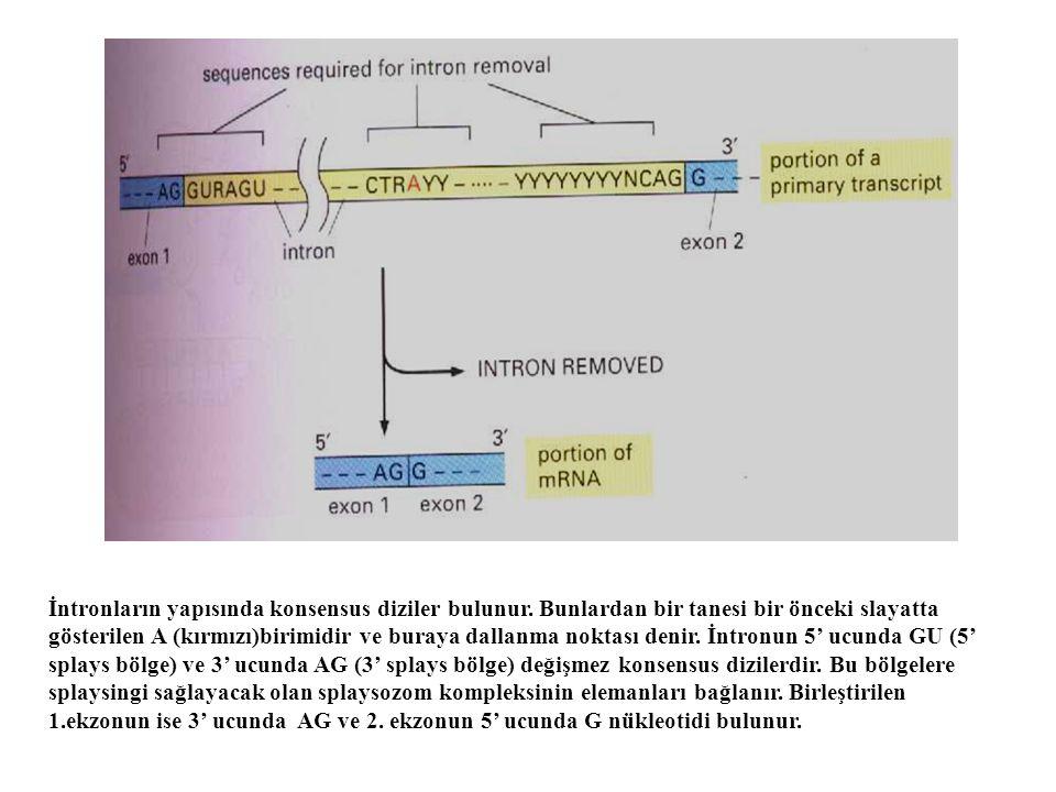 İntronların yapısında konsensus diziler bulunur