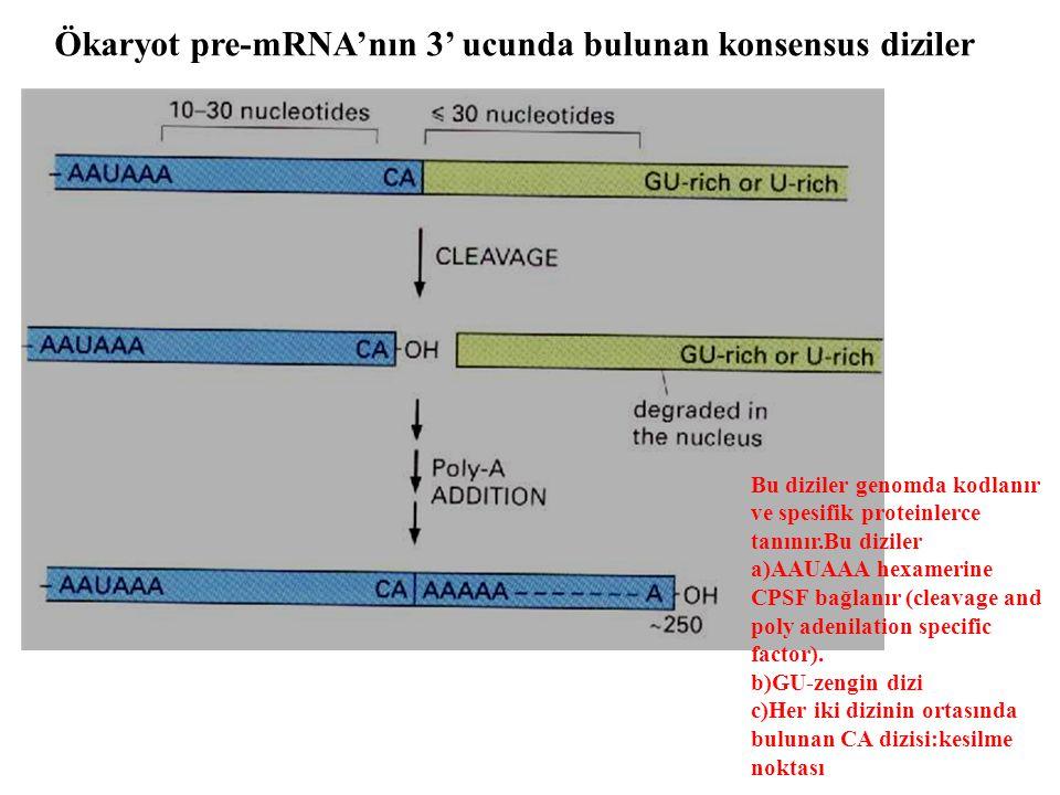 Ökaryot pre-mRNA'nın 3' ucunda bulunan konsensus diziler