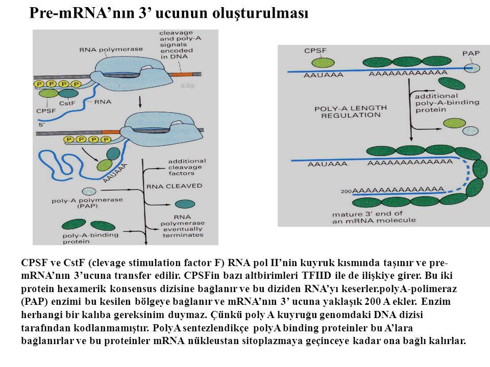 Pre-mRNA'nın 3' ucunun oluşturulması