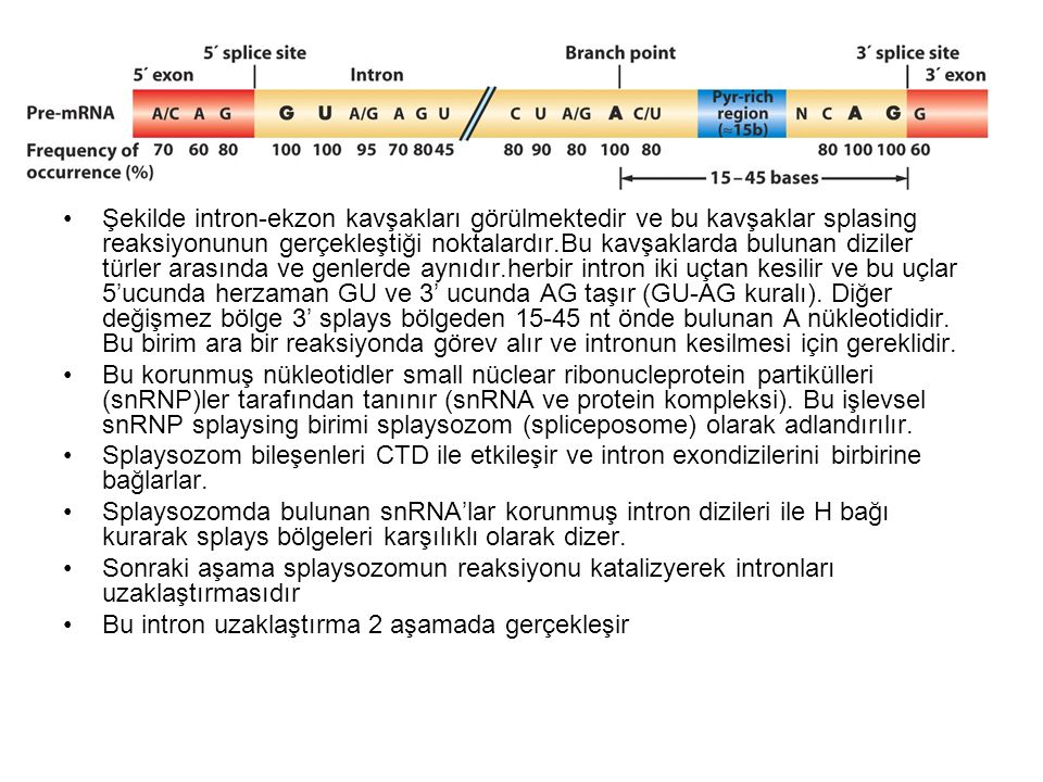 Şekilde intron-ekzon kavşakları görülmektedir ve bu kavşaklar splasing reaksiyonunun gerçekleştiği noktalardır.Bu kavşaklarda bulunan diziler türler arasında ve genlerde aynıdır.herbir intron iki uçtan kesilir ve bu uçlar 5'ucunda herzaman GU ve 3' ucunda AG taşır (GU-AG kuralı). Diğer değişmez bölge 3' splays bölgeden 15-45 nt önde bulunan A nükleotididir. Bu birim ara bir reaksiyonda görev alır ve intronun kesilmesi için gereklidir.