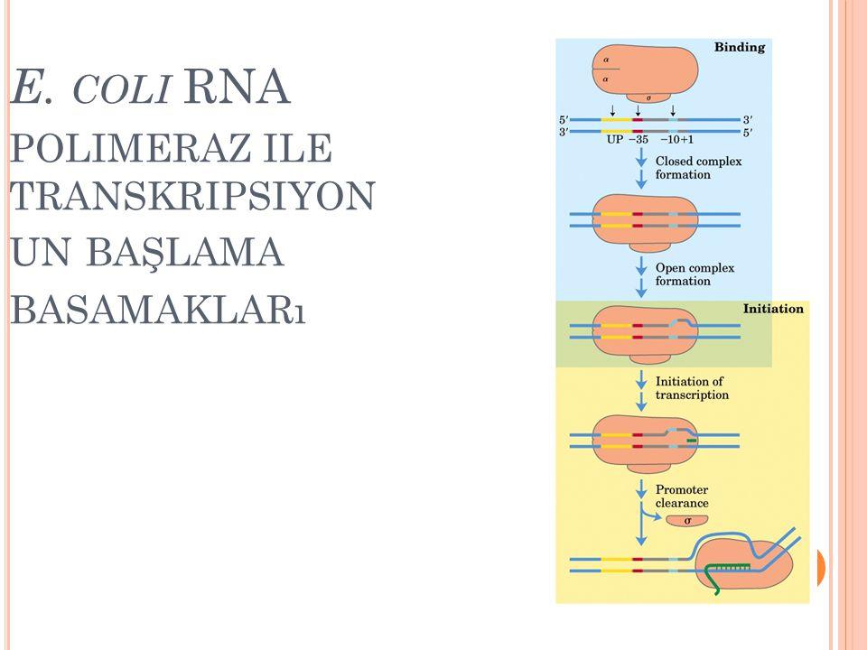 E. coli RNA polimeraz ile transkripsiyonun başlama basamakları
