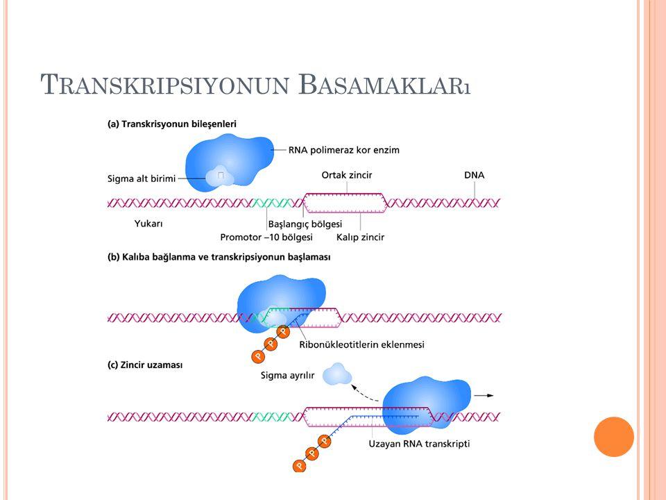 Transkripsiyonun Basamakları