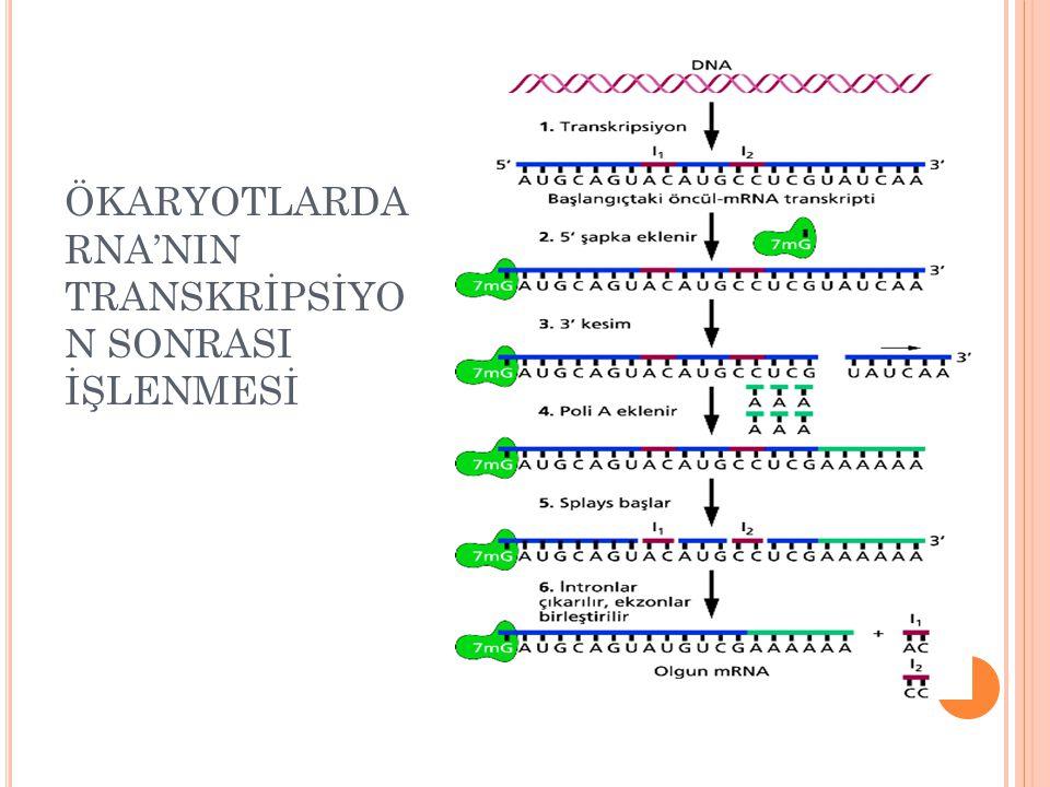 ÖKARYOTLARDA RNA'NIN TRANSKRİPSİYON SONRASI İŞLENMESİ