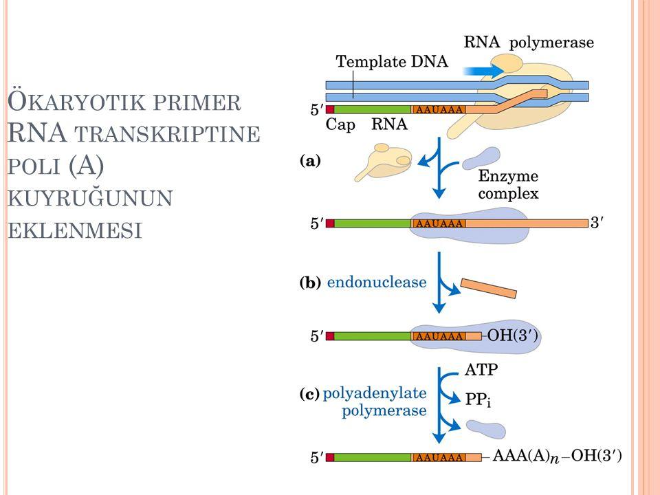 Ökaryotik primer RNA transkriptine poli (A) kuyruğunun eklenmesi