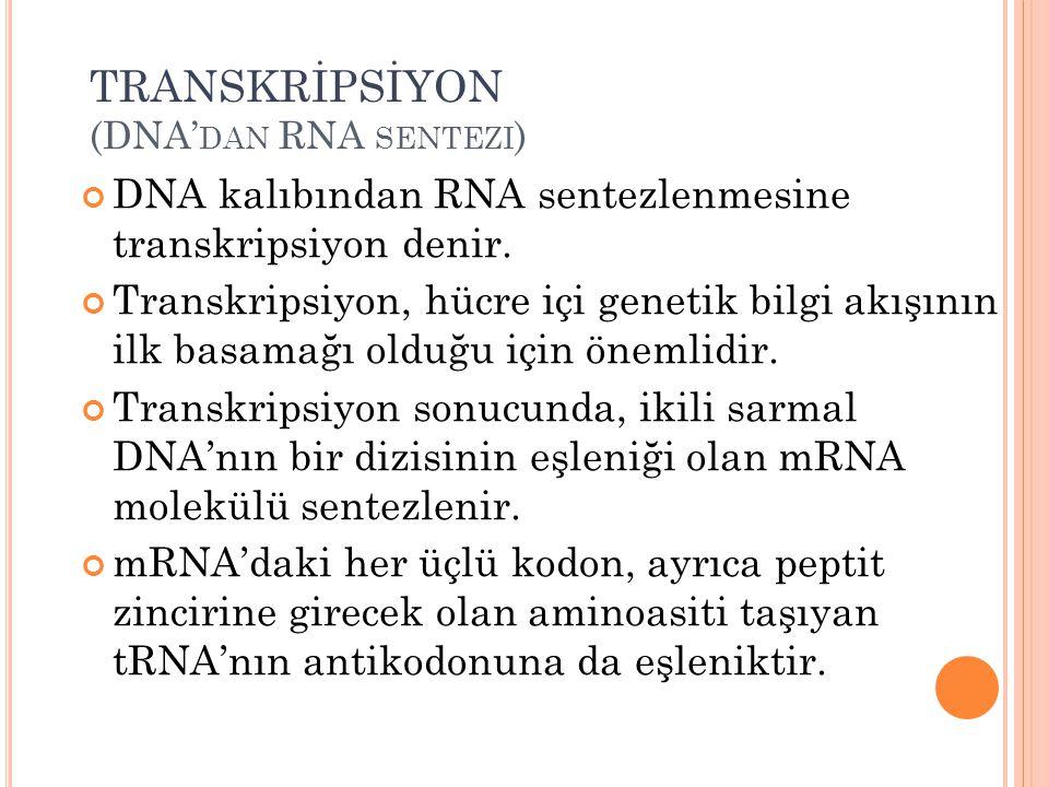TRANSKRİPSİYON (DNA'dan RNA sentezi)