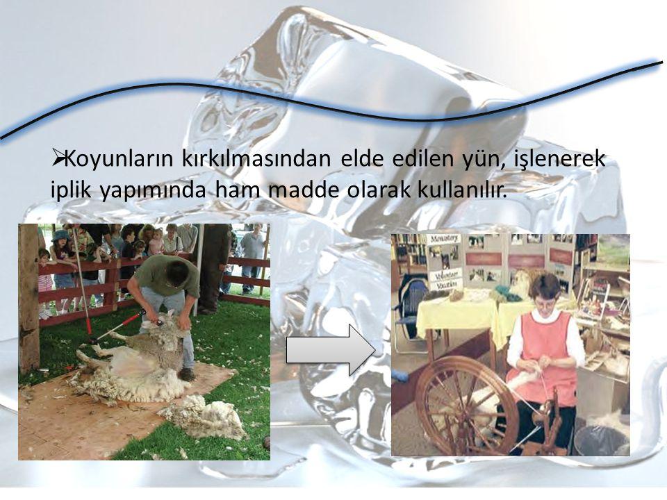 Koyunların kırkılmasından elde edilen yün, işlenerek iplik yapımında ham madde olarak kullanılır.