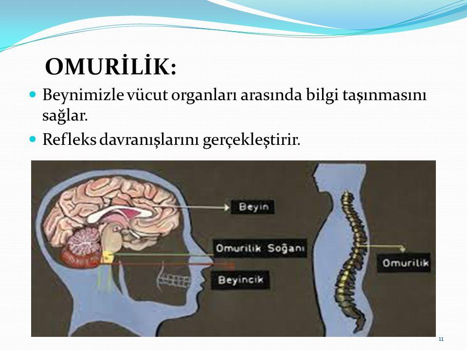 OMURİLİK: Beynimizle vücut organları arasında bilgi taşınmasını sağlar.