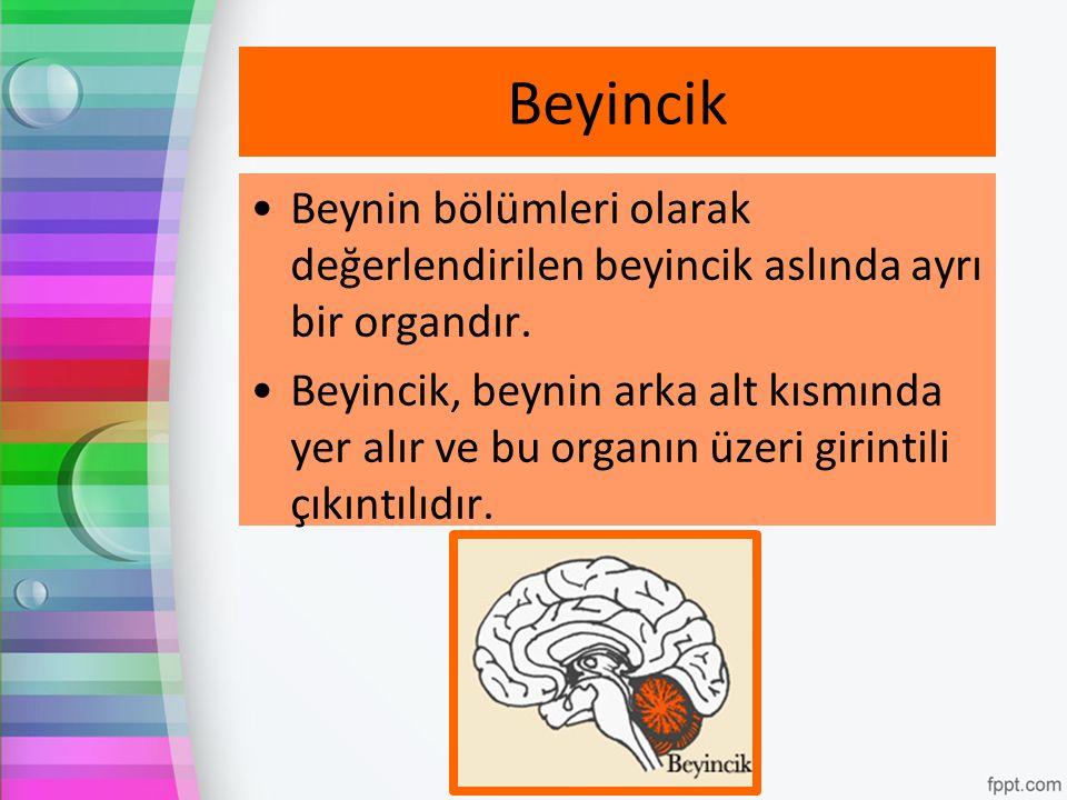 Beyincik Beynin bölümleri olarak değerlendirilen beyincik aslında ayrı bir organdır.
