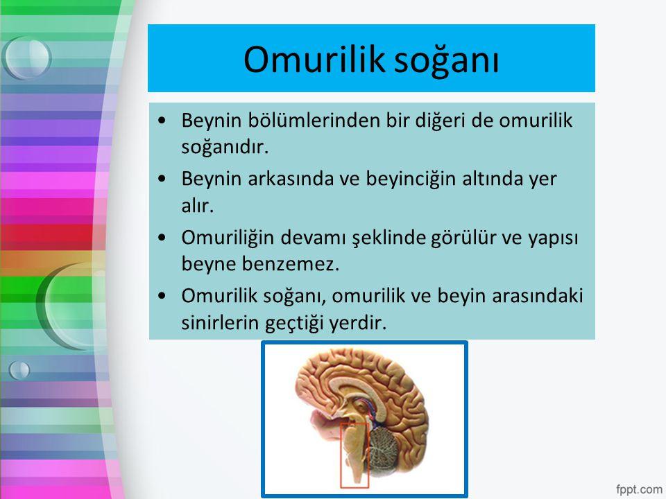 Omurilik soğanı Beynin bölümlerinden bir diğeri de omurilik soğanıdır.