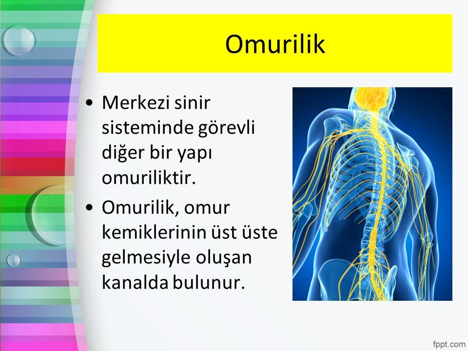 Omurilik Merkezi sinir sisteminde görevli diğer bir yapı omuriliktir.