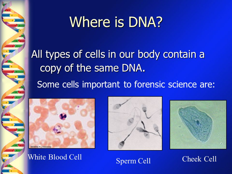 Where is DNA All types of cells in our body contain a copy of the same DNA. Some cells important to forensic science are: