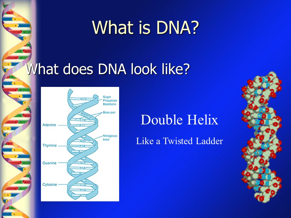 What is DNA What does DNA look like Double Helix