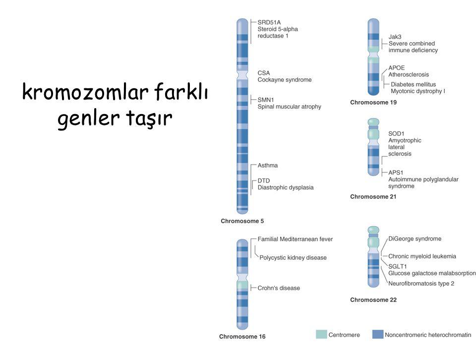 kromozomlar farklı genler taşır