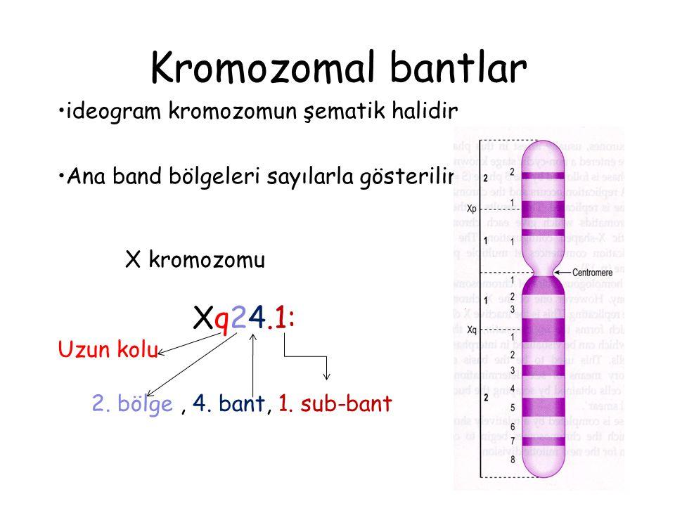 Kromozomal bantlar ideogram kromozomun şematik halidir