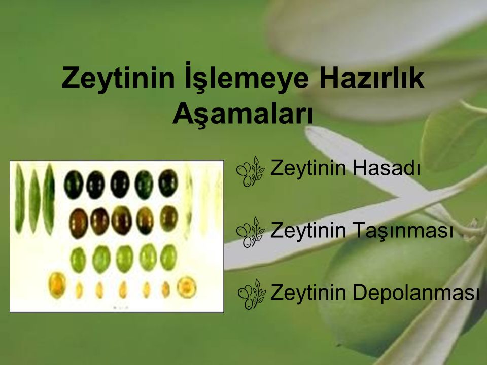 Zeytinin İşlemeye Hazırlık Aşamaları