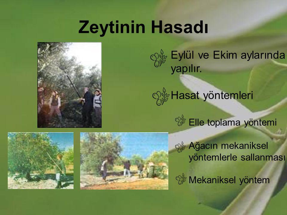 Zeytinin Hasadı Eylül ve Ekim aylarında yapılır. Hasat yöntemleri