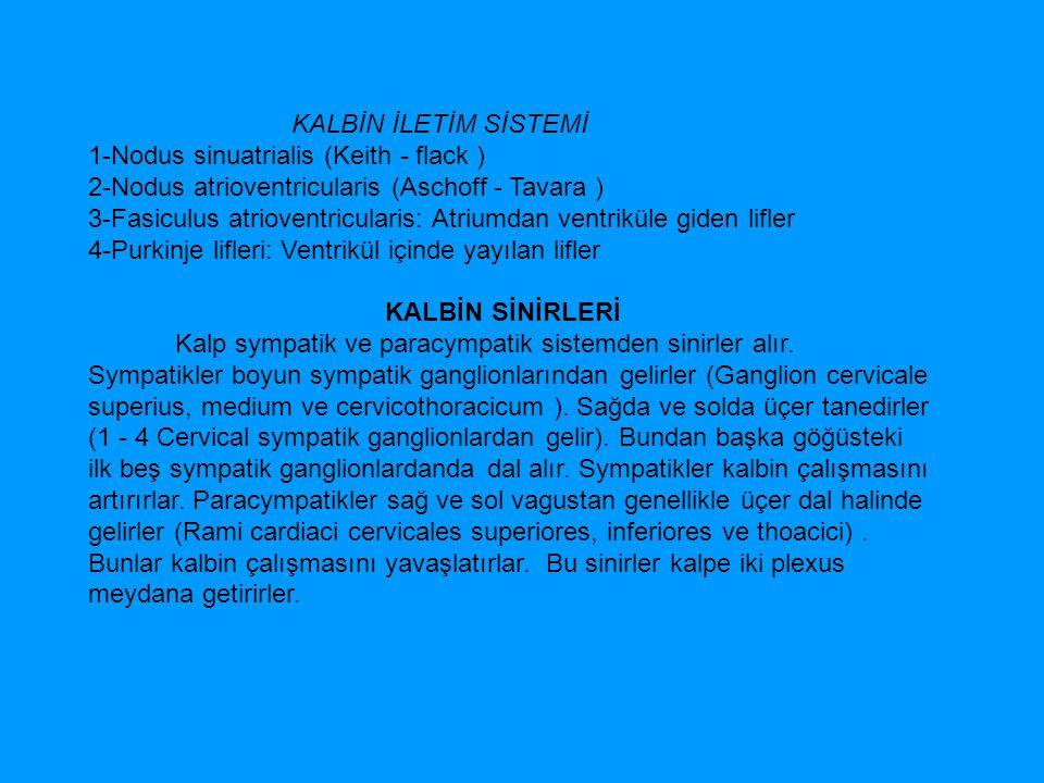 KALBİN İLETİM SİSTEMİ 1-Nodus sinuatrialis (Keith - flack )