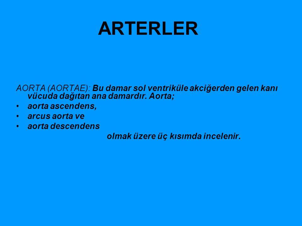 ARTERLER AORTA (AORTAE): Bu damar sol ventriküle akciğerden gelen kanı vücuda dağıtan ana damardır. Aorta;