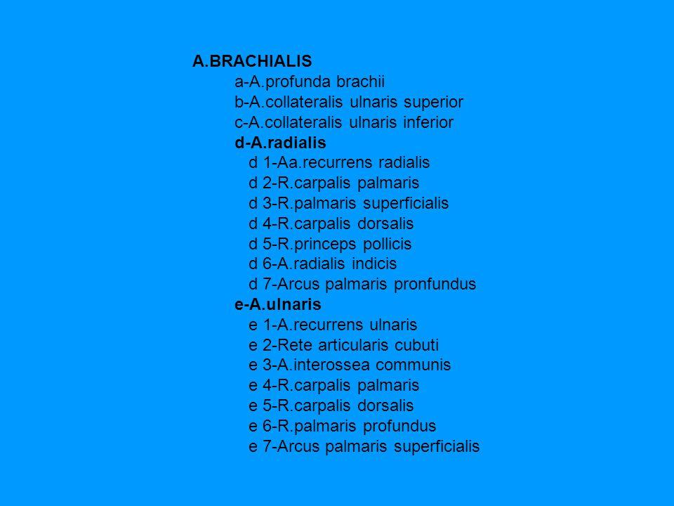 A.BRACHIALIS a-A.profunda brachii. b-A.collateralis ulnaris superior. c-A.collateralis ulnaris inferior.
