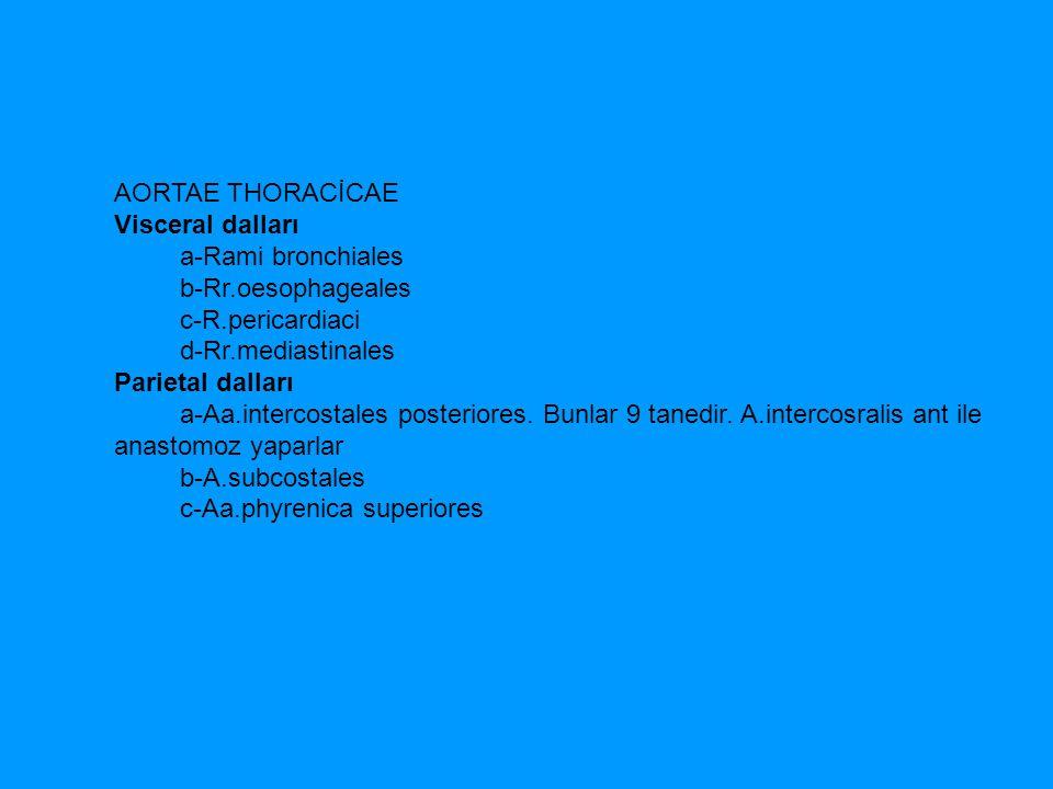 AORTAE THORACİCAE Visceral dalları. a-Rami bronchiales. b-Rr.oesophageales. c-R.pericardiaci.