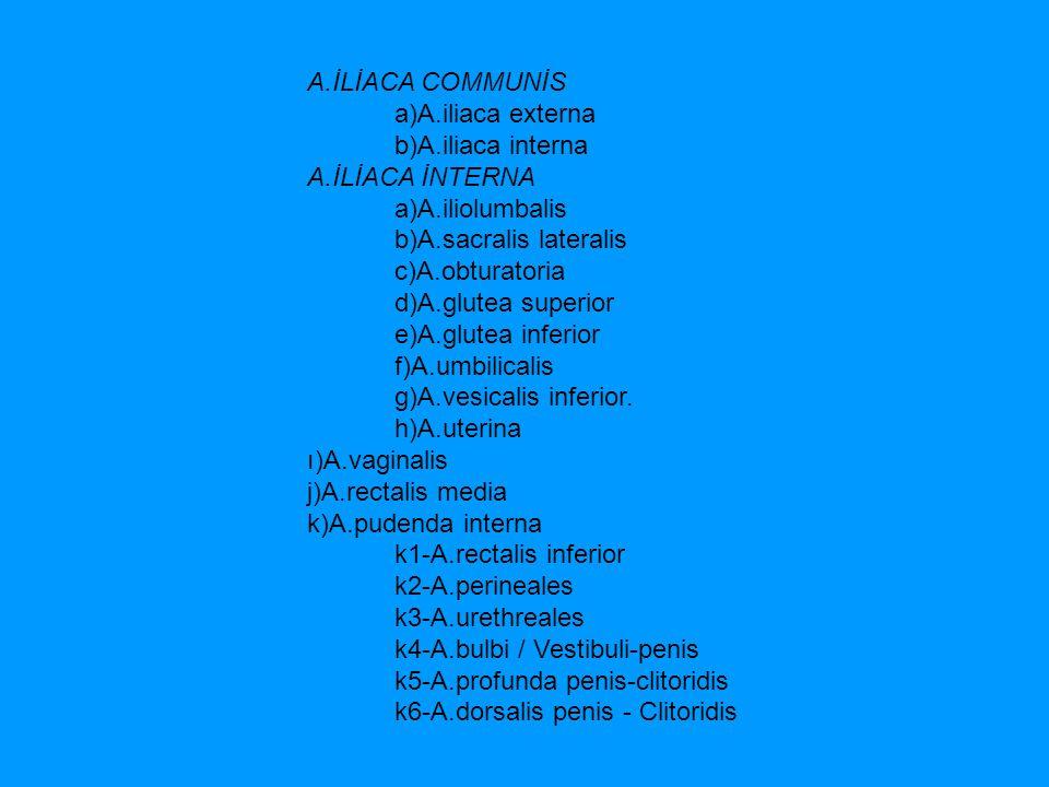 A.İLİACA COMMUNİS a)A.iliaca externa. b)A.iliaca interna. A.İLİACA İNTERNA