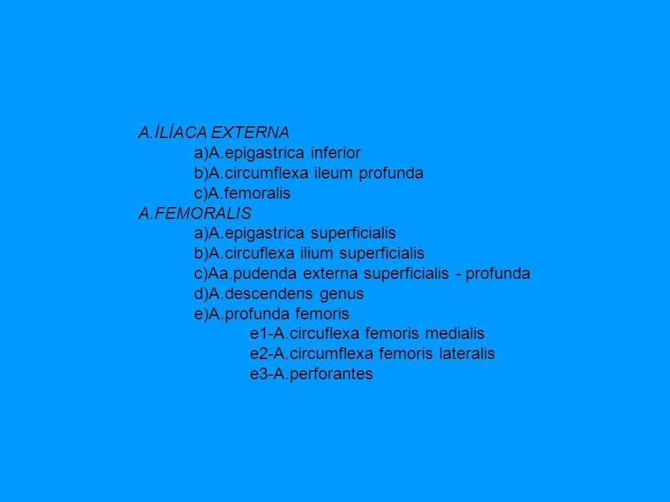 A.İLİACA EXTERNA a)A.epigastrica inferior. b)A.circumflexa ileum profunda.