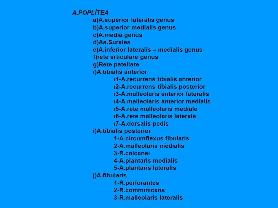 A.POPLİTEA a)A.superior lateralis genus. b)A.superior medialis genus.