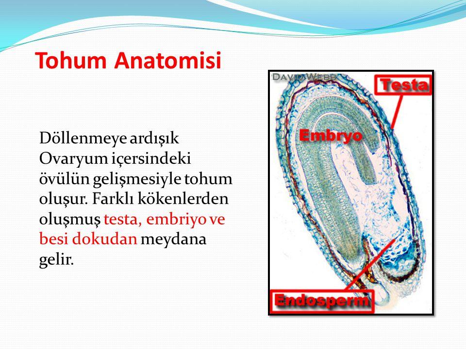 Tohum Anatomisi