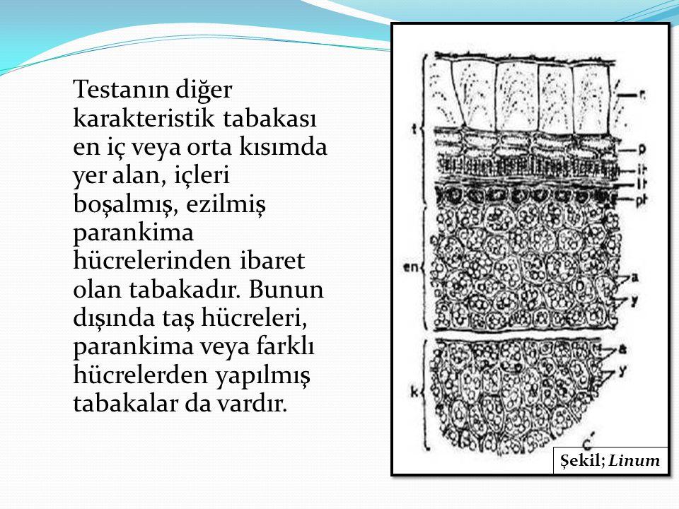 Testanın diğer karakteristik tabakası en iç veya orta kısımda yer alan, içleri boşalmış, ezilmiş parankima hücrelerinden ibaret olan tabakadır. Bunun dışında taş hücreleri, parankima veya farklı hücrelerden yapılmış tabakalar da vardır.
