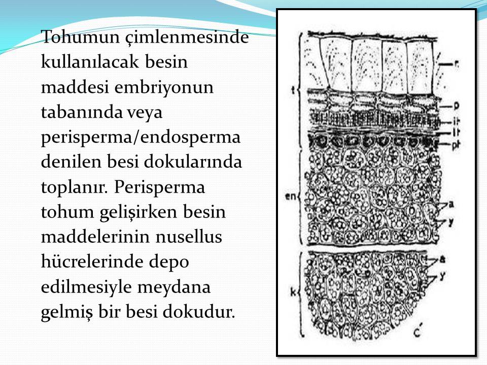 Tohumun çimlenmesinde kullanılacak besin maddesi embriyonun tabanında veya perisperma/endosperma denilen besi dokularında toplanır.