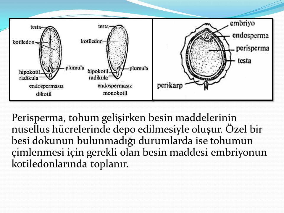 Perisperma, tohum gelişirken besin maddelerinin nusellus hücrelerinde depo edilmesiyle oluşur.